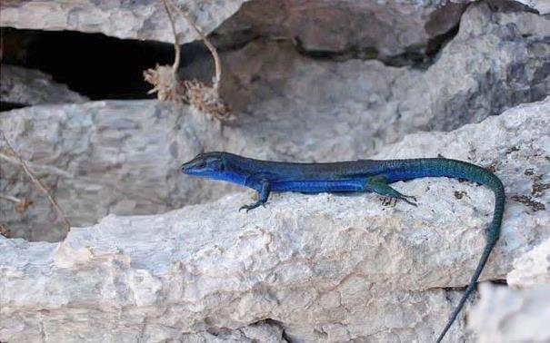 Blue lizard Capri Credit photo Luigi Esposito / Source